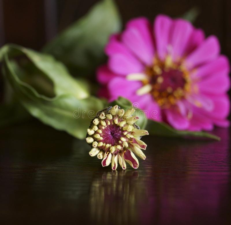Zinnia flower bud and cyclam flower of a zinnia royalty free stock image