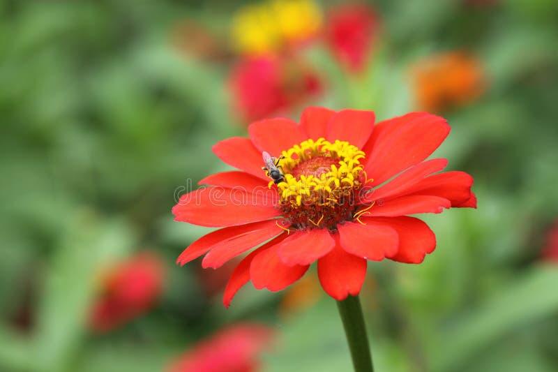 Download Zinnia Flower Color Orange In Garden Stock Image - Image: 25479467