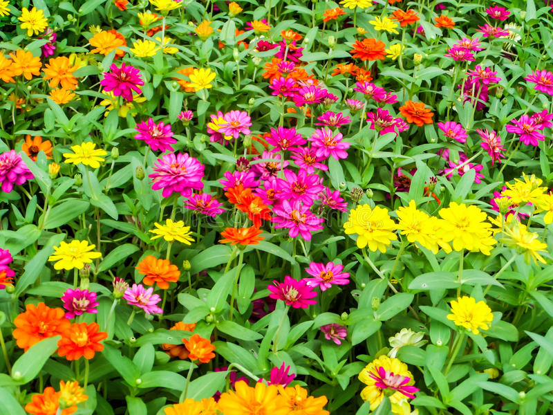 The zinnia flower is one of the easiest flowers to grow in the. Garden royalty free stock photography