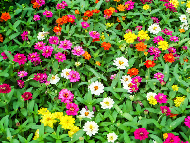 The zinnia flower is one of the most bloom flowers. You will want to grow in your garden. Among one of the easiest flowers to grow royalty free stock images