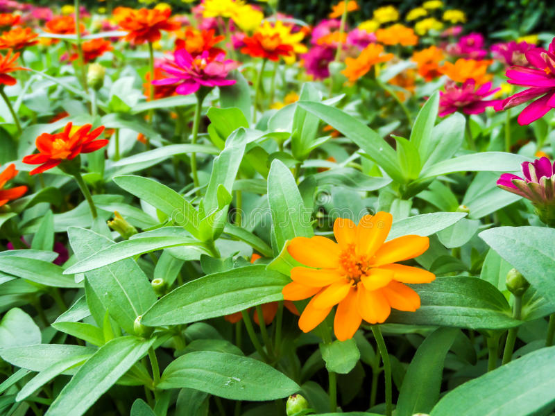 The zinnia flower is one of the most bloom flowers. You will want to grow in your garden. Among one of the easiest flowers to grow stock image
