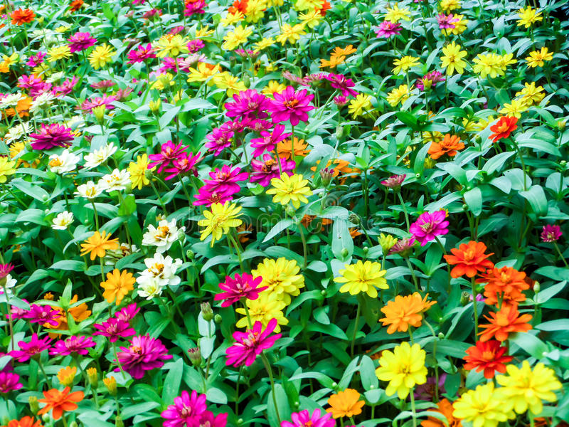 The zinnia flower is one of the most exuberant flowers. You will want to grow in your garden. Among one of the easiest flowers to grow royalty free stock photo