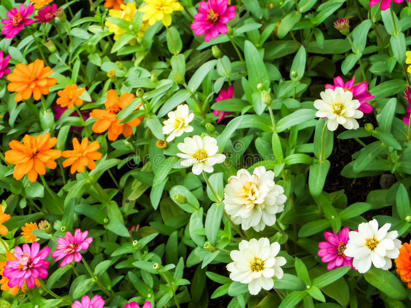 The zinnia flower is one of the most exuberant flowers. You will want to grow in your garden. Among one of the easiest flowers to grow stock images
