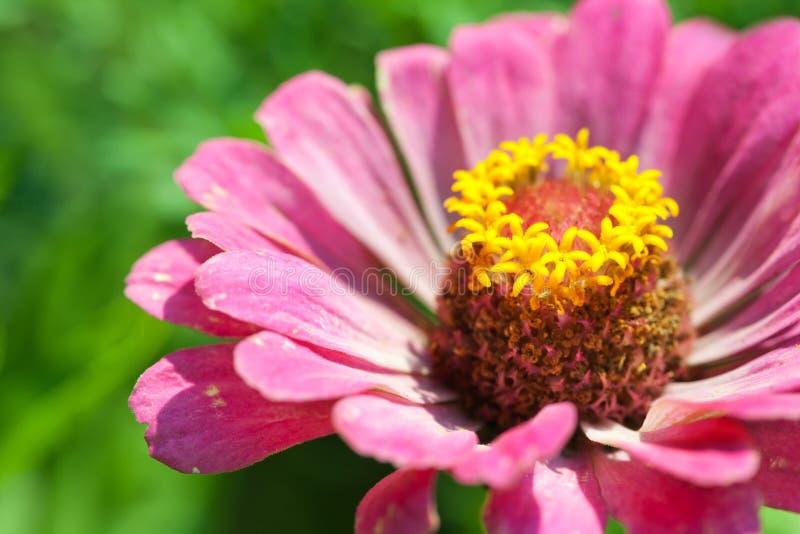 Zinnia flower petals macro view photography. Elegant pink petals plant closeup. shallow depth of field. Zinnia flower petals macro view photography. Elegant stock photo