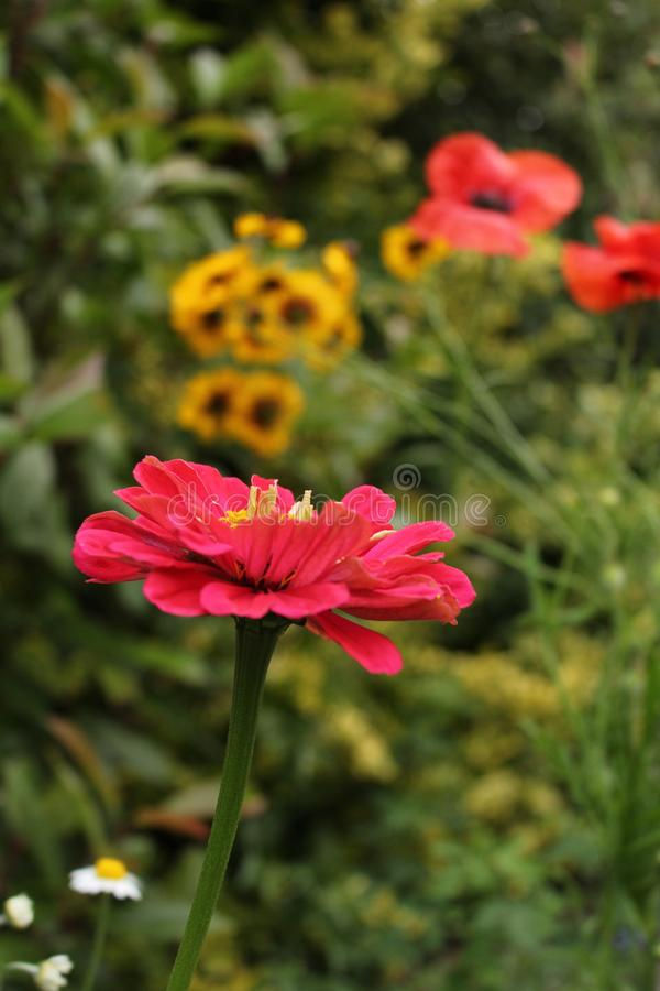 Zinnia flower pink growing in foregound with blurred garden background royalty free stock photography