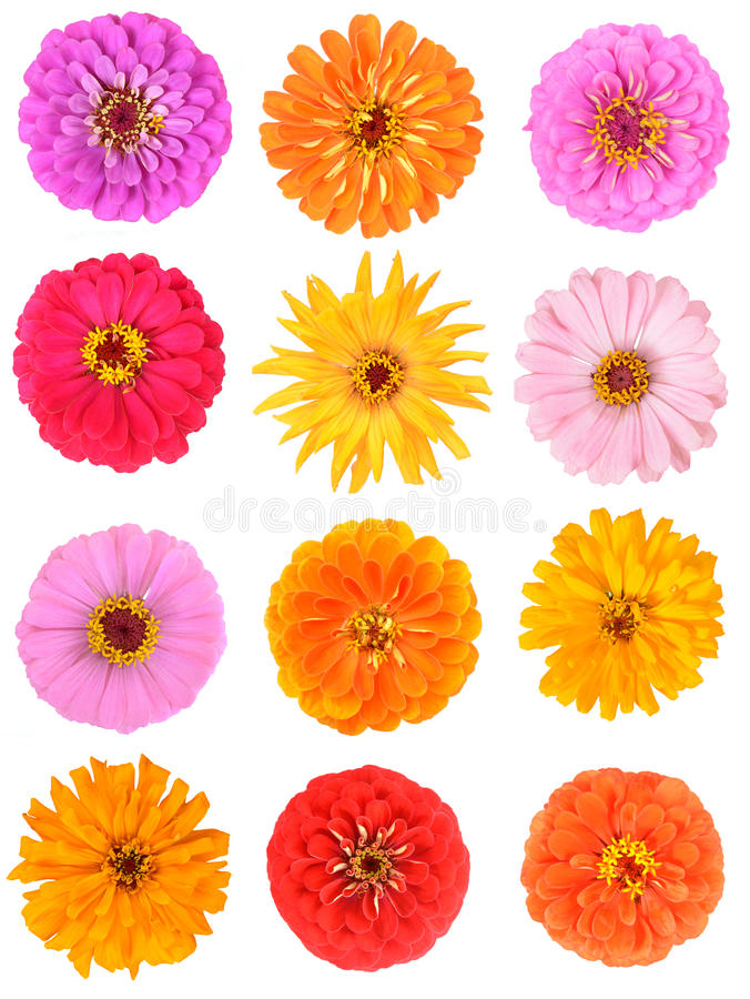 Zinnia flower royalty free stock photography
