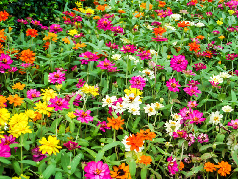 The zinnia flower a plant that is grown in gardens for its brightly colored flowers. The zinnia flower is one of the most exuberant flowers you will want to grow stock photography