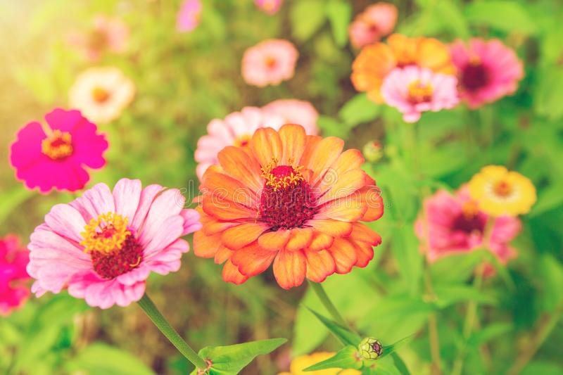 Zinnia flower Zinnia violacea Cav is a flowering plant leaves, orange, red, pink, single flowers bloom with a beautiful sunrise in. The morning royalty free stock photo