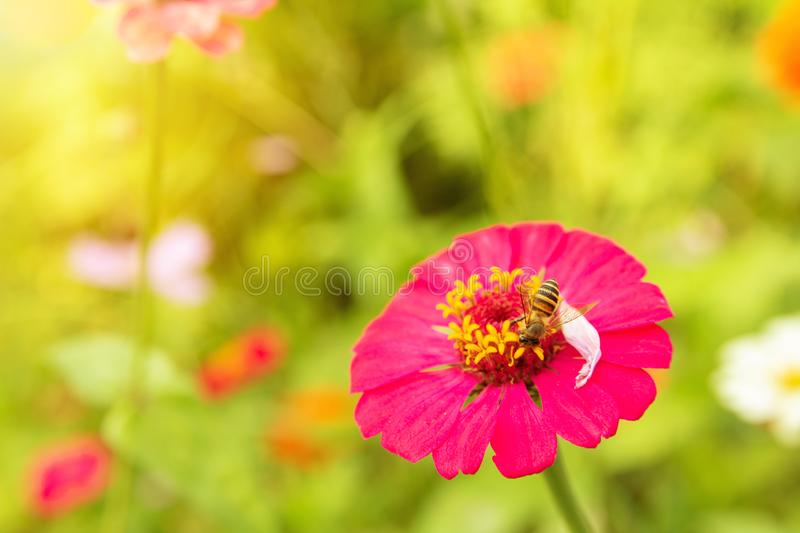 Zinnia flower Zinnia violacea Cav is a flowering plant leaves, orange, red, pink, single flowers bloom with a beautiful sunrise in. The morning royalty free stock image