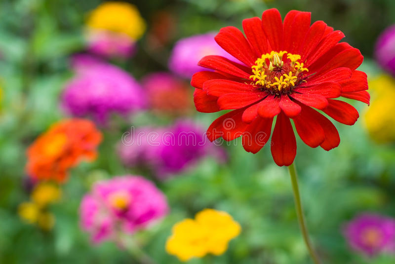 Download Zinnia flowers stock photo. Image of floral, blur, clearly - 17397388