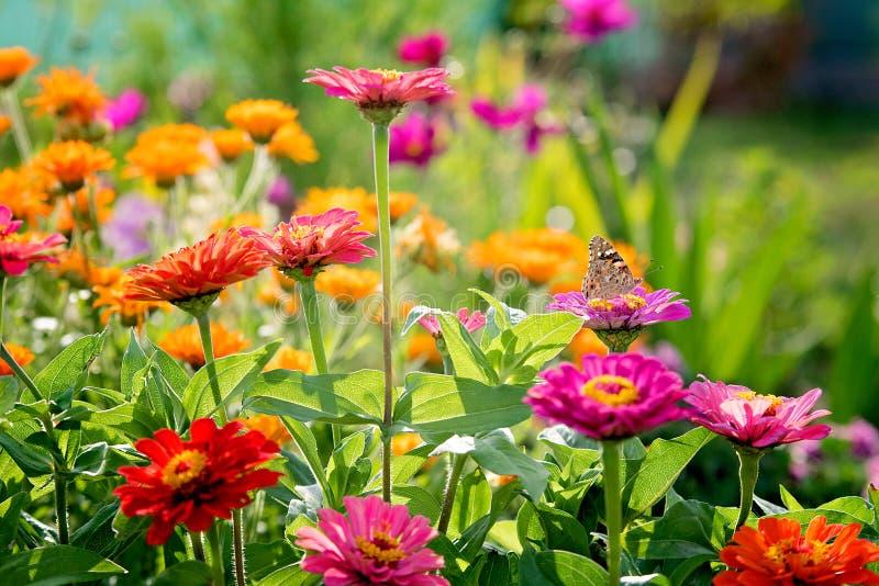 Zinnia flowers stock photos
