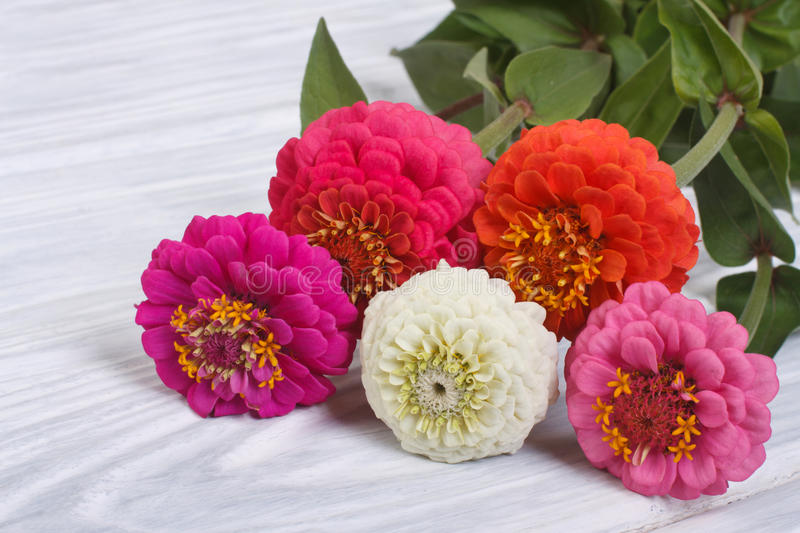 Zinnia flowers close-up on wooden table royalty free stock photos