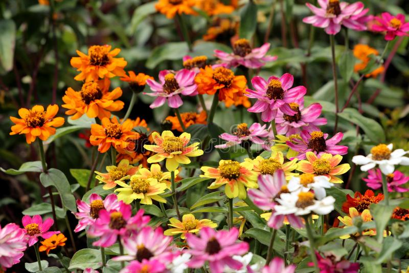 Zinnia flowers with fully open blooming petals in various colors from bright yellow to orange and pink densely planted in local. Urban garden on warm sunny stock image