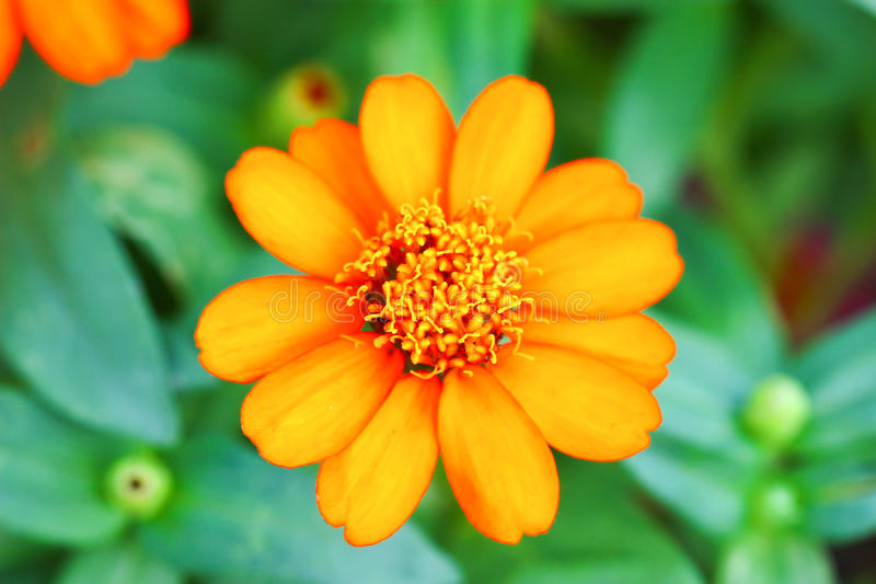 Download Zinnia Flowers In The Garden Stock Image - Image of circle, ornamental: 25820407
