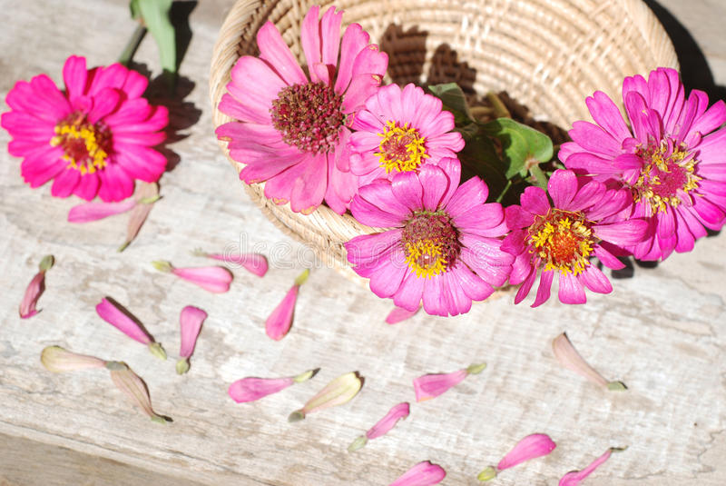 Zinnia flowers on a wooden background royalty free stock images