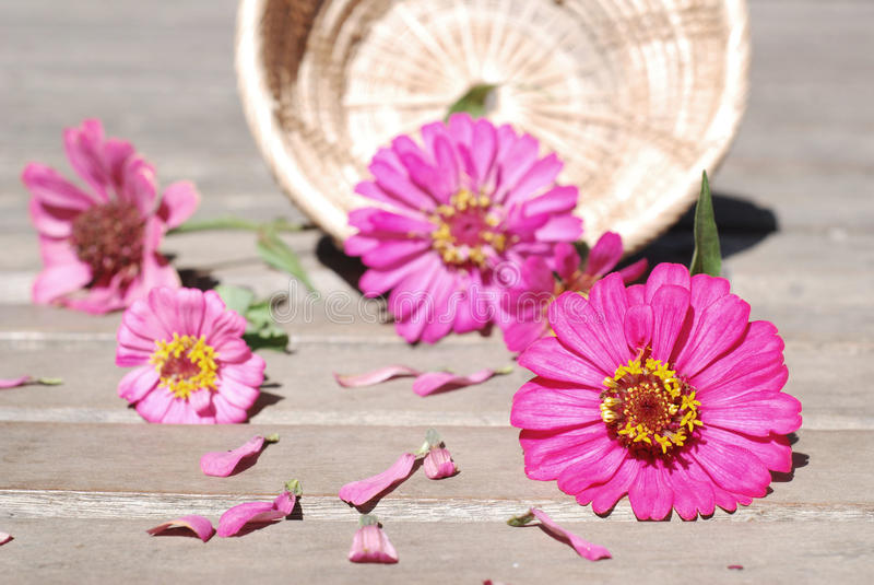 Zinnia flowers on a wooden background stock photos