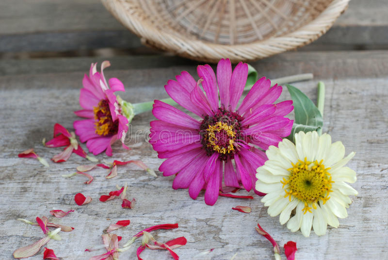 Zinnia flowers on a wooden background royalty free stock image