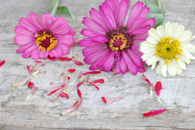 Zinnia flowers on a wooden background stock image