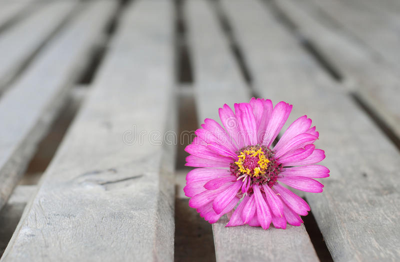 Zinnia flowers on a wooden background royalty free stock photo