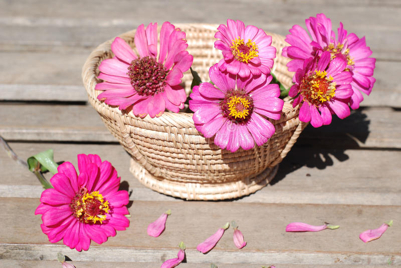 Zinnia flowers on a wooden background stock photography