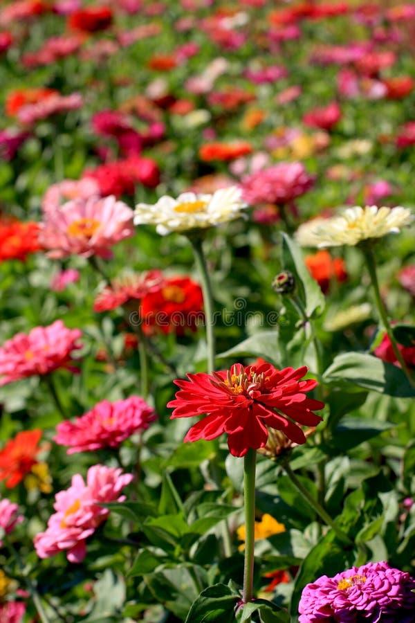 Zinnia Garden stock afbeelding