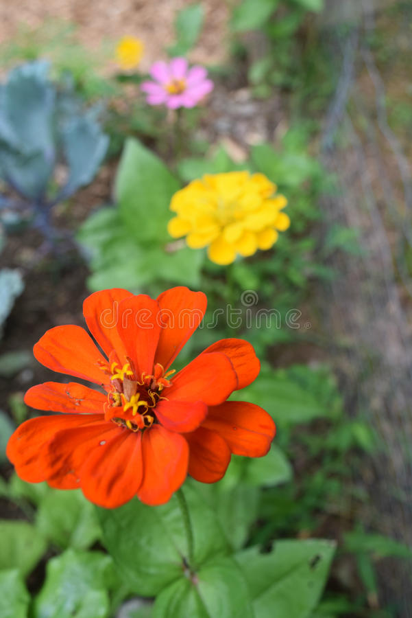 Zinnia garden royalty free stock images