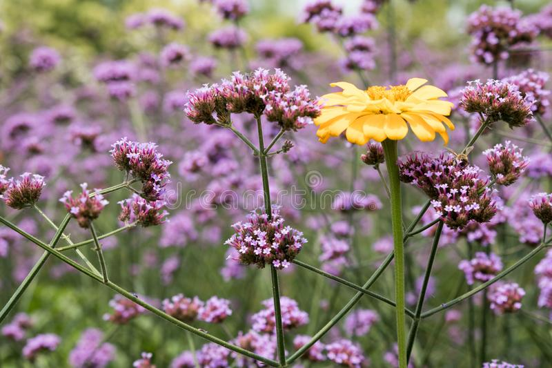 Zinnia gialla fra i fiori porpora fotografia stock libera da diritti