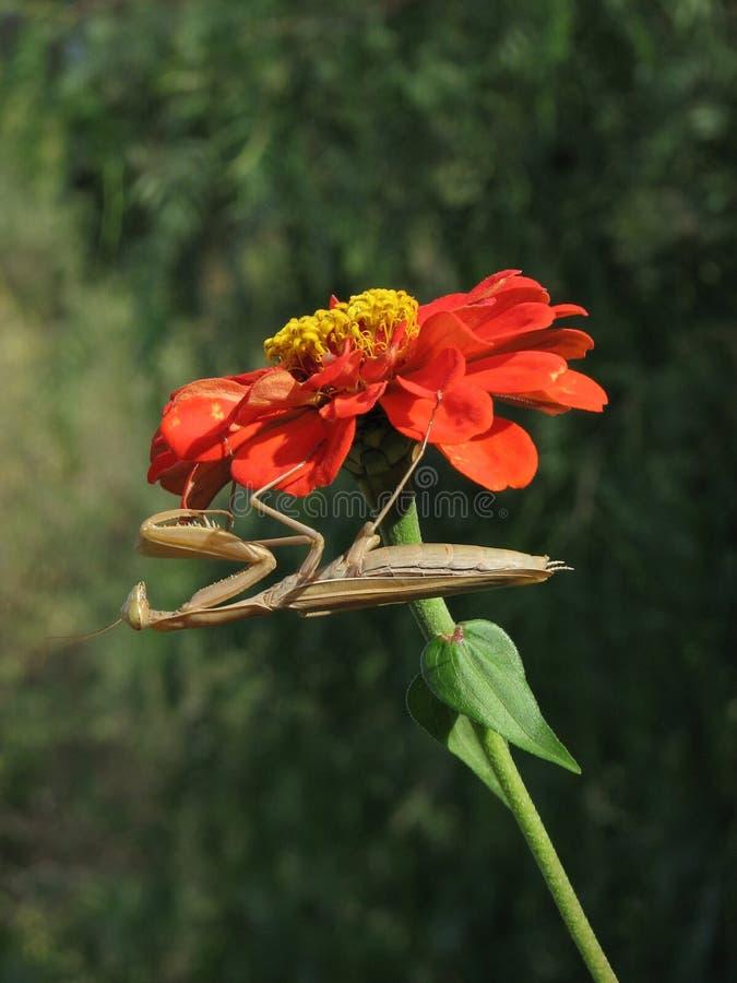 Zinnia Mantis stock afbeelding