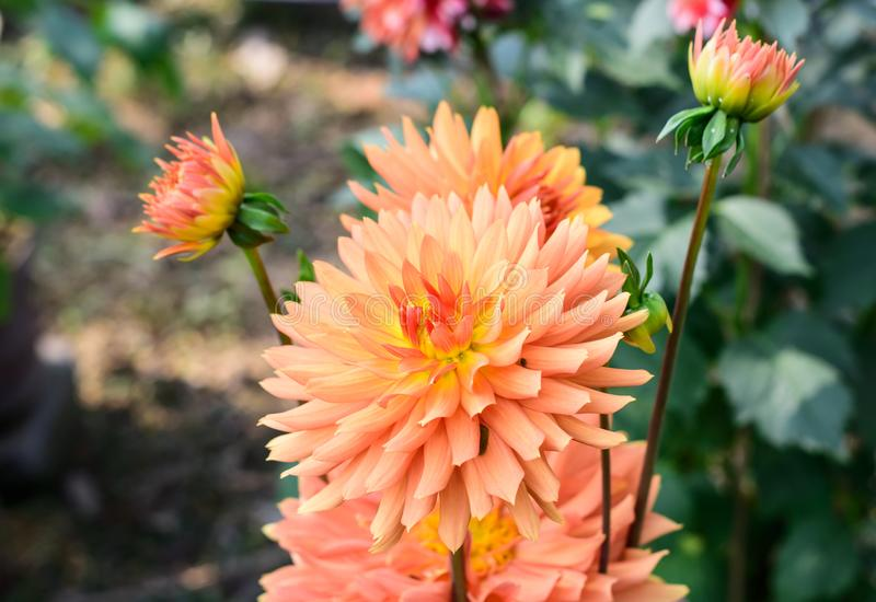 Zinnia - Multi layer orange petal flower plant, a genus of sunflower tribe daisy family. A sun loving plant Blooms in winter stock images