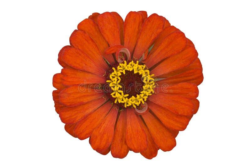 Zinnia orange photo stock