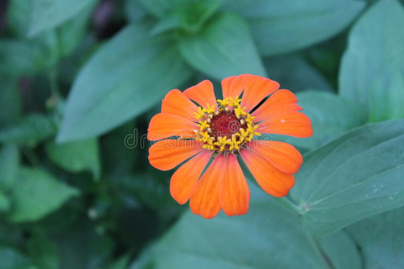Zinnia orange image libre de droits