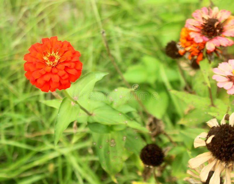 Zinnia orange chaud image stock