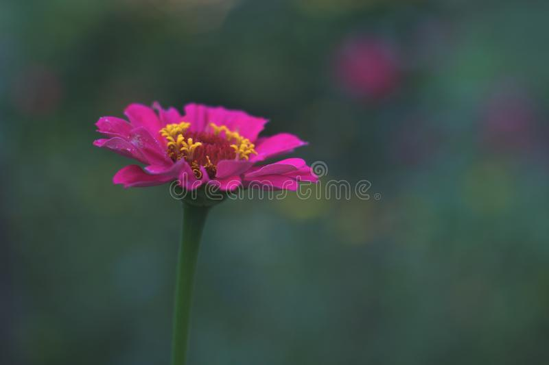 Zinnia peruviana pink flower with yellow pistils. Close up of pink elegant flower and yellow pistils Zinnia peruviana blurred background with green blue vibrant stock photos