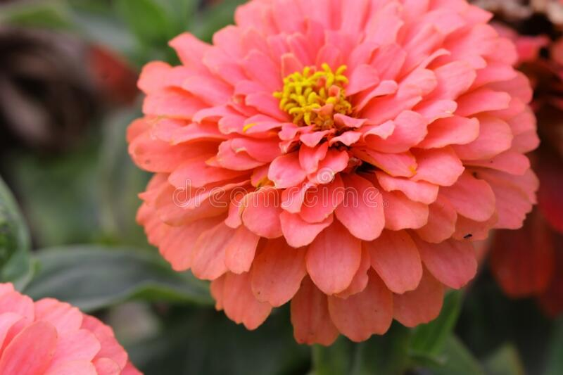Zinnia  pink salmon color  blossoming  in the garden is close-up horizontally. Asteraceae Family. Copy space stock photos