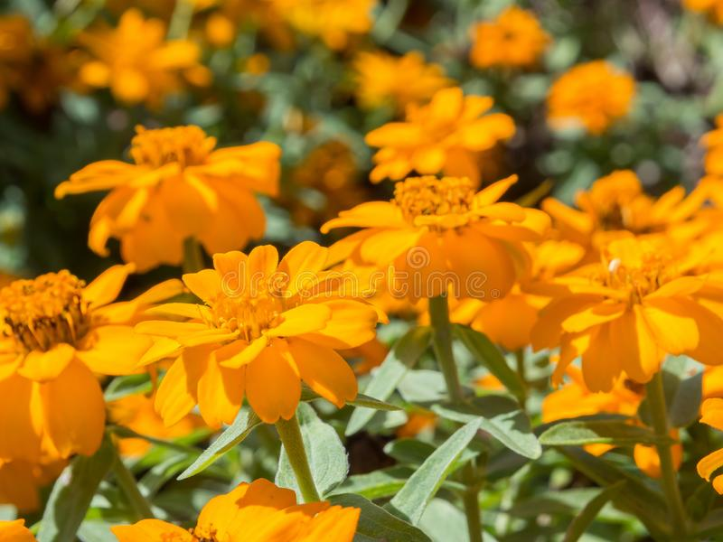A Zinnia profusion double golden flower in a spring season at a botanical garden. stock image