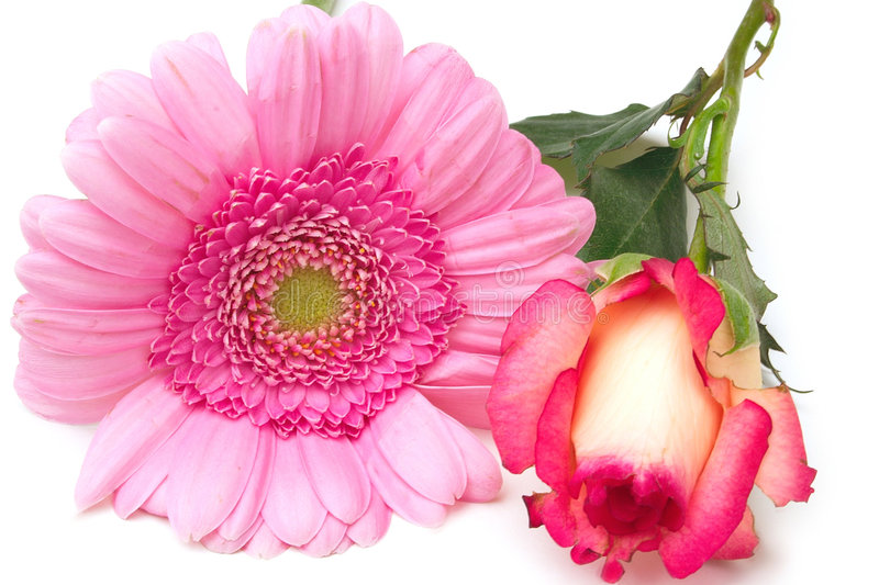 Zinnia and rose royalty free stock image