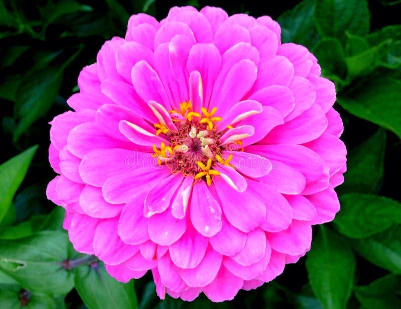 Zinnia rose photos stock