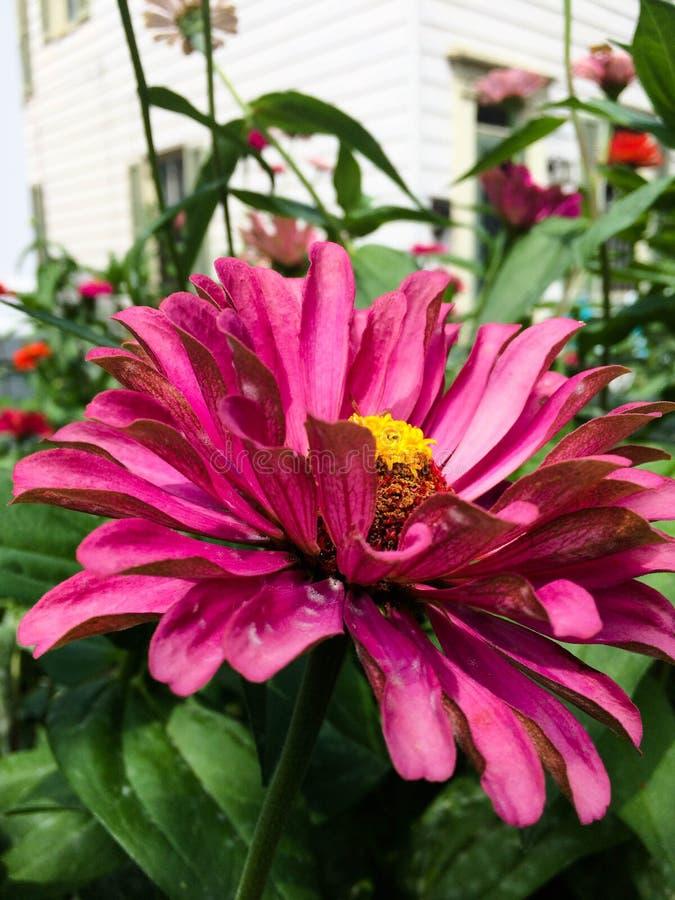 Zinnia rose de floraison avec le centre jaune images stock
