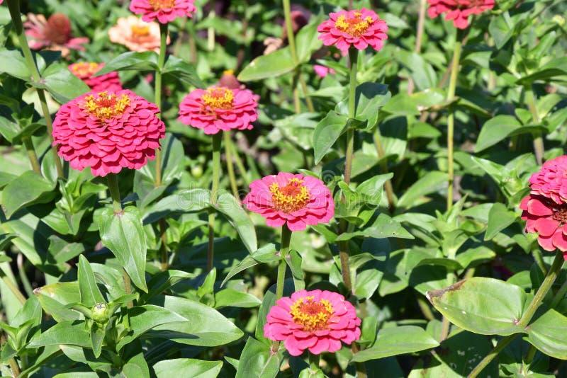 Zinnia variopinta del fiore fotografie stock