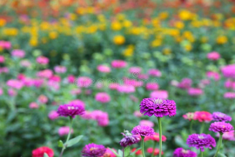 Zinnia variopinta nella stagione primaverile per la decorazione dell'interno e la disposizione dei fiori immagine stock libera da diritti