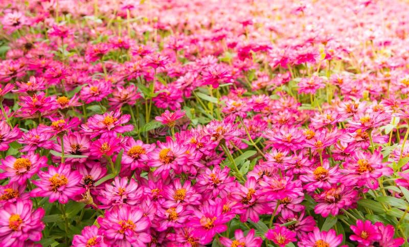 Zinnia violacea, decoratie van tropische bloementeelt in de tuin in Singha Park, Chiangrai, Thailand stock afbeelding
