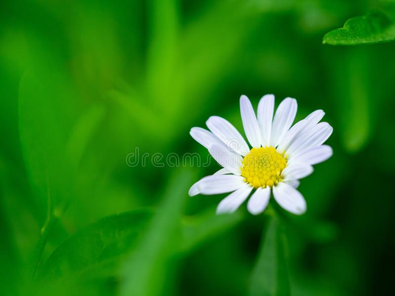 Zinnia, weiße Blumen für Hintergrund Weißer Narrowleaf-Zinnia oder klassischer Zinnia Zinnia Angustifolia Kunth blüht mit Grün lizenzfreie stockbilder