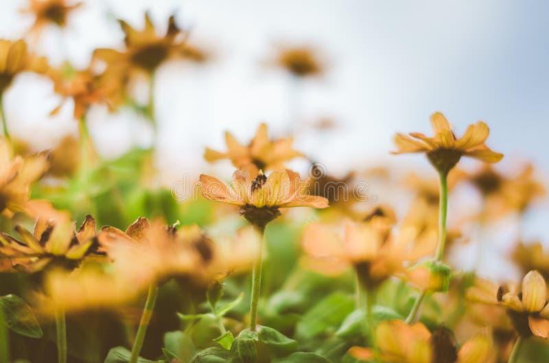 Zinniaangustifoliaen blommar tappning royaltyfri fotografi