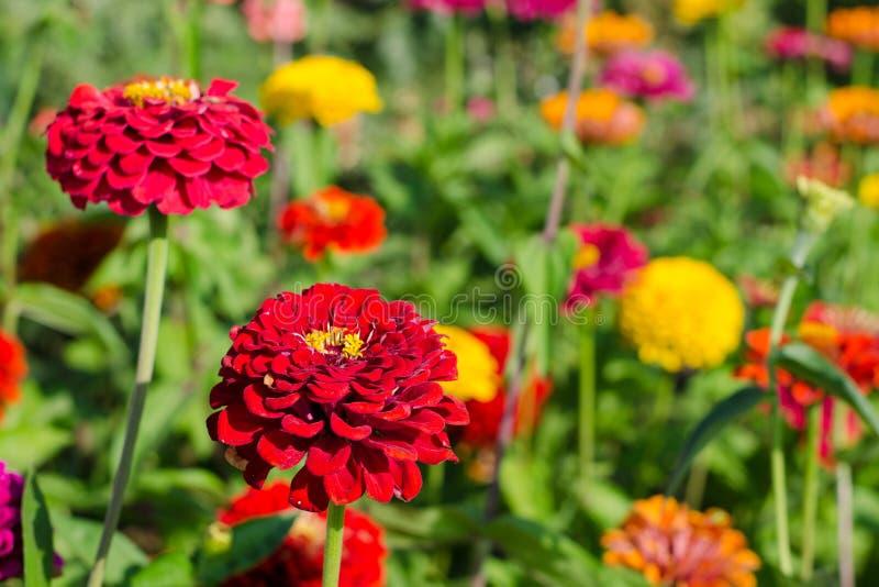 Zinniablommor i trädgården royaltyfria foton