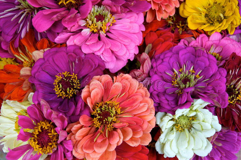 Download Zinnias stock photo. Image of orange, floral, bouquet - 10370706