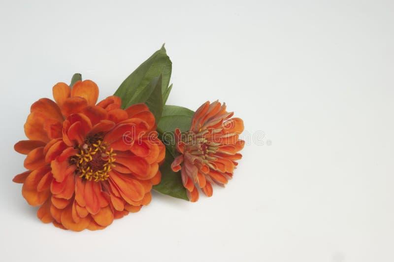 zinnias στοκ φωτογραφία με δικαίωμα ελεύθερης χρήσης