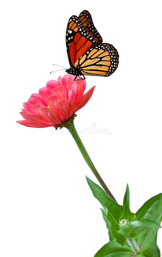 Zinnias en Vlinder royalty-vrije stock foto