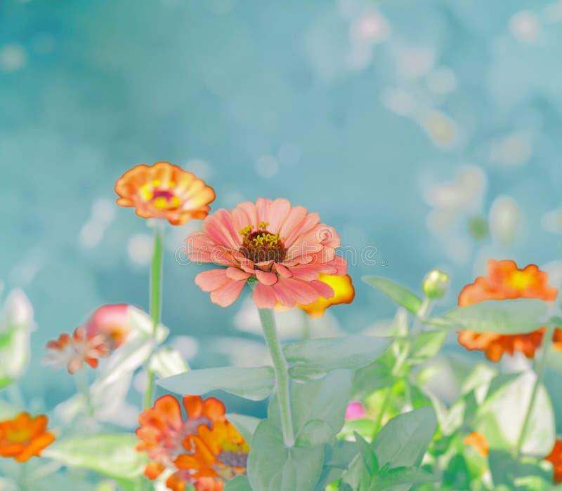 Zinnias Heirloom Flower. Pastel Zinnias Heirloom Flower Garden royalty free stock photos