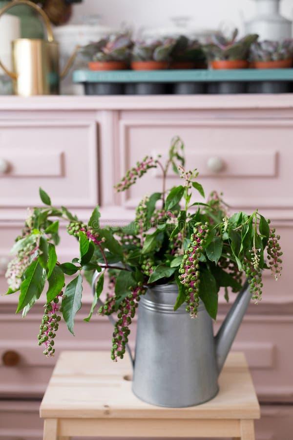 Ziołowa roślina: Indiański pokeweed Phytolacca Acinosa co jest w okolicy używać ulgą od bólu obrazy stock