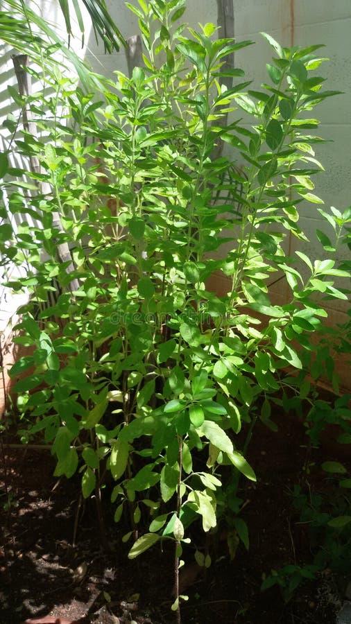 Ziołowy drzewo zdjęcie royalty free